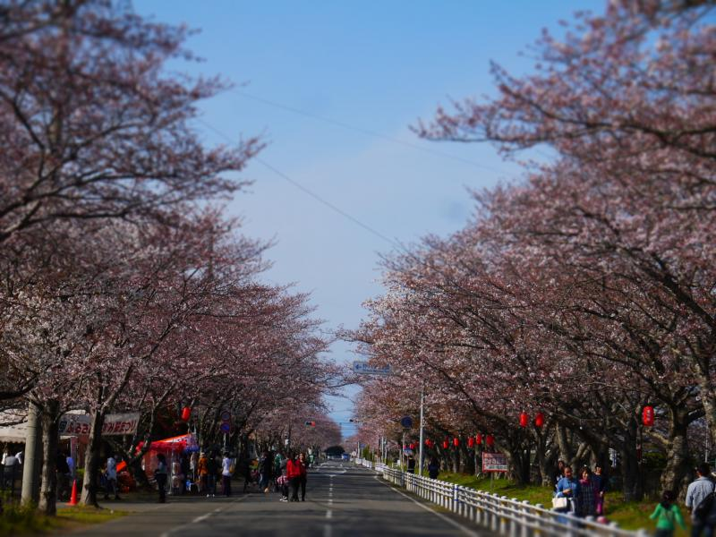 第32回いずみ桜まつり