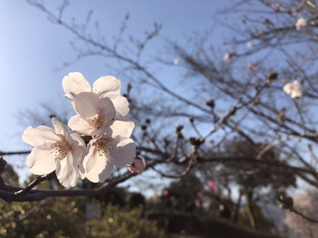 桜の開花状況(4月4日)